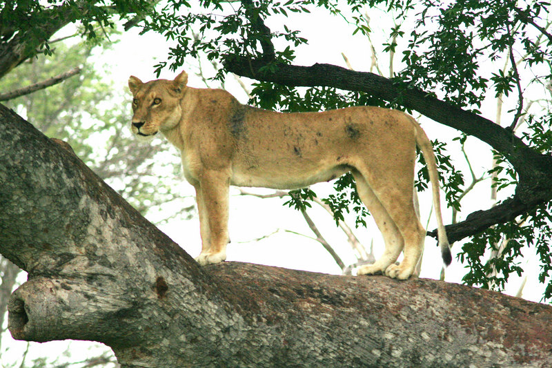Lioness Enjoying the View