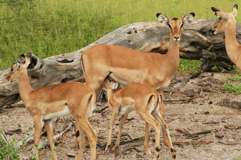 Baby Impala Nursing