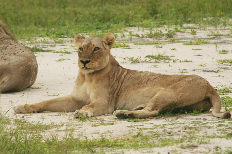 Lounging Lioness