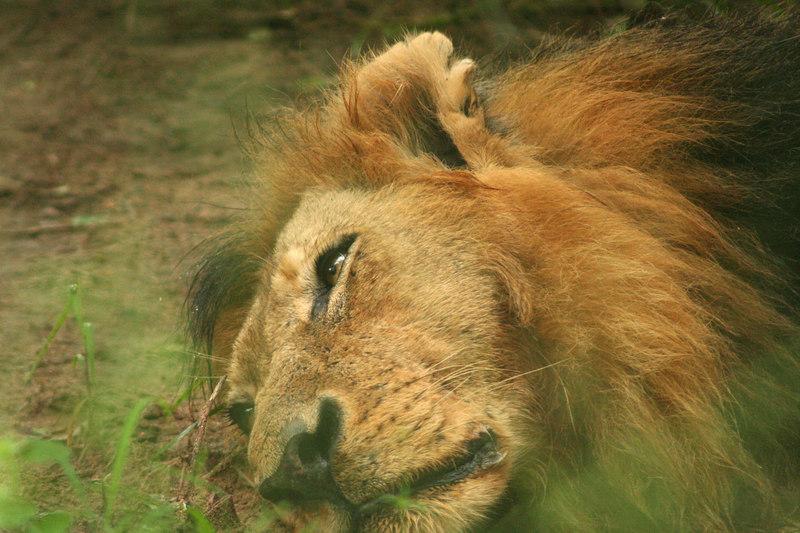 Lion Resting, But Vigilant