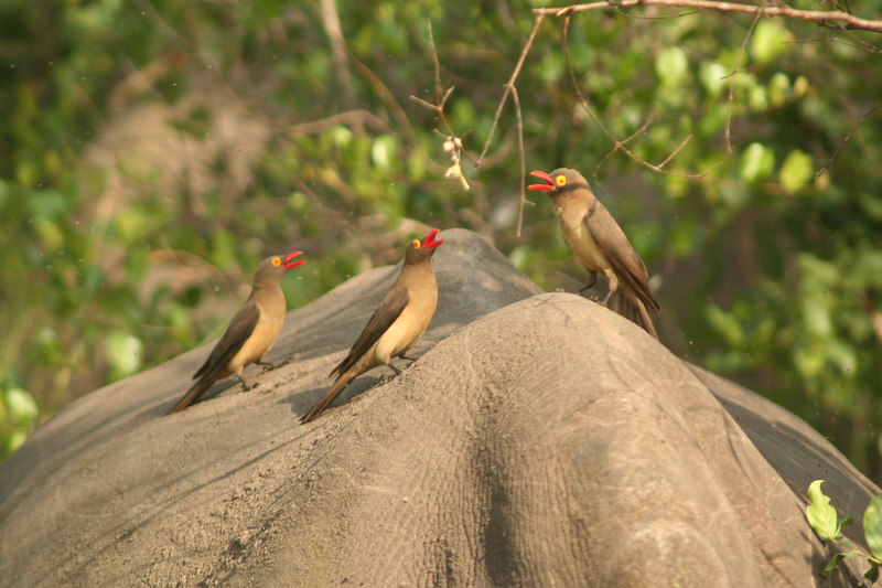 Oxpecker Trio
