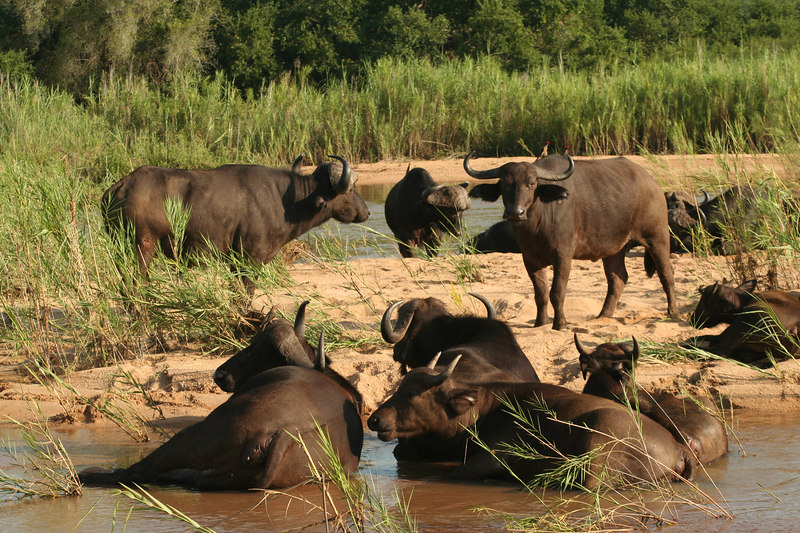 Cape Buffalo Herd in Sand River