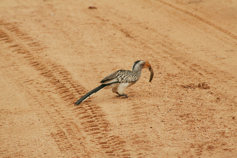 "Yellow-Billed Hornbill (""Flying Banana"") with Breakfast"