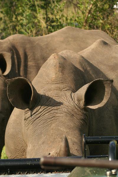 Head to Head with a Rhino