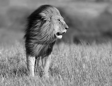 Lions-16
