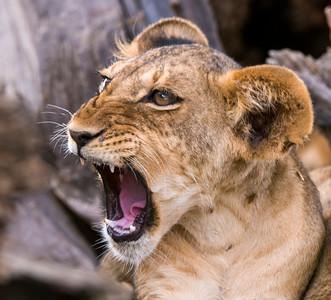 Lion Cubs-2