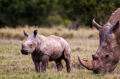 Rhinos-7