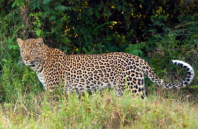 Leopards-5
