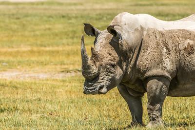 Rhinos-6