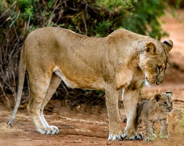 Lion Cubs-4
