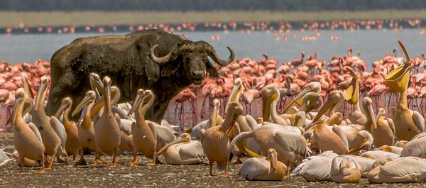 Cape Buffalo-3