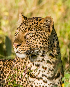 Leopards-2