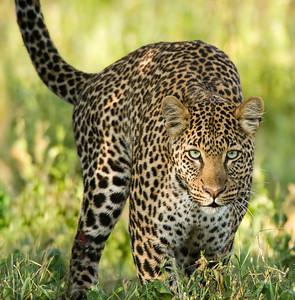 Leopards-3