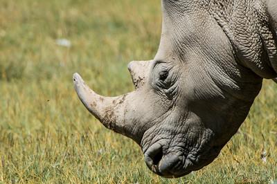Rhinos-4