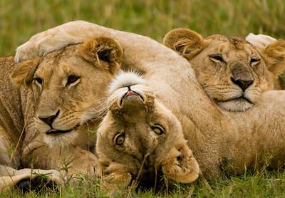 Lion Cubs-7