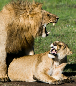 Lions-31