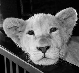 Lions-20