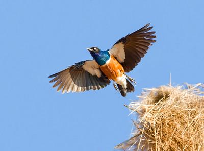 Slendid Starling