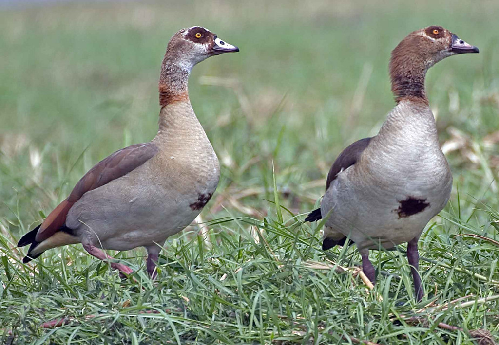 Egyptian Geese in the Chobe River, Botswana.