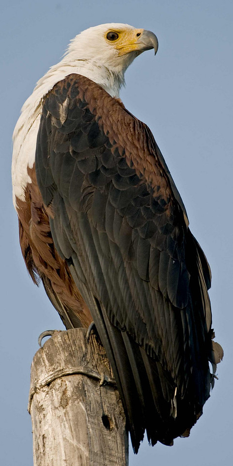 Fish Eagle in the Chobe River, Botswana.