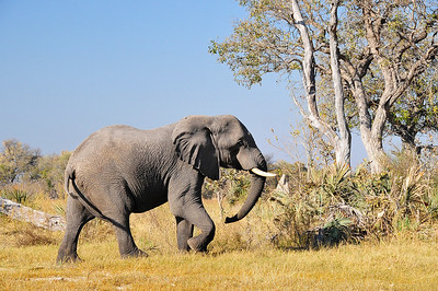 EPV0071 Large Bull Elephant