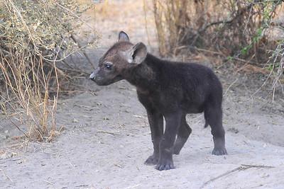 EPV1156 Hyena Pup