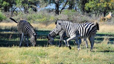 EPV0833 Zebra