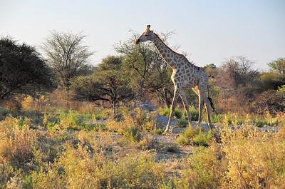 EPV0867 Giraffe
