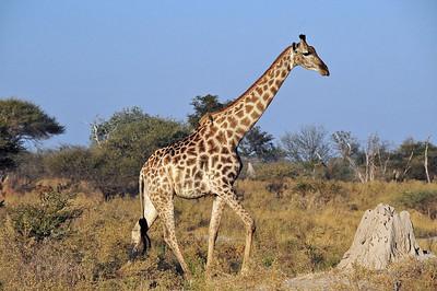 EPV0804 Giraffe