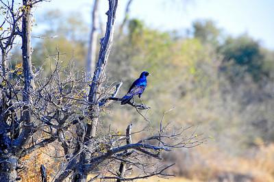 EPV0733 Cape Glossy Starling in Okavanga Delta, Botswana