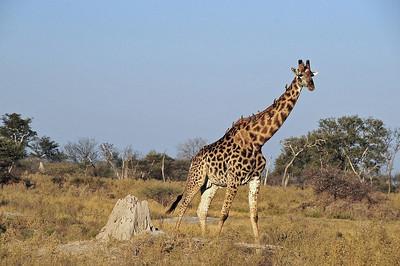 EPV0819 Giraffe