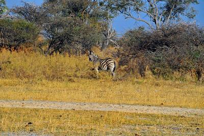 EPV0738 Zebra in Okavanga Delta, Botswana