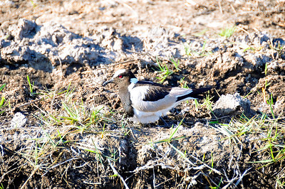 EPV0685 Blacksmith Plover or Lapwing (a bird that lays its egg on the ground where incubation occurs) in Okavanga Delta, Botswana