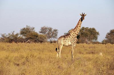EPV0843 Giraffe