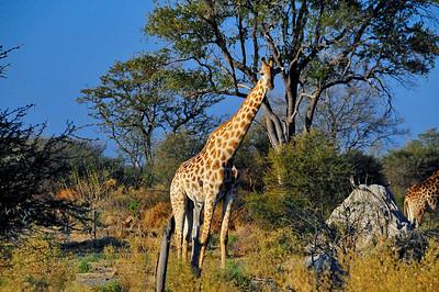 EPV0786 Giraffe