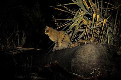 EPV0950 Wild Cat at Night