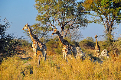 EPV0797 A Tower of Giraffes