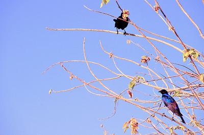EPV0682 Burchell's Starlings in Okavanga Delta, Botswana