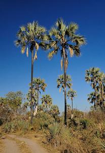 EPV0027 Palm Trees