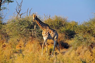 EPV0794 Giraffe
