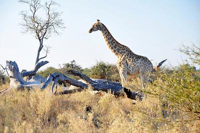 EPV0832 Giraffe