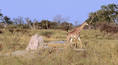 EPV0849 Baby Giraffe