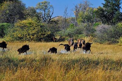 EPV0093 Wildebeasts on the Run