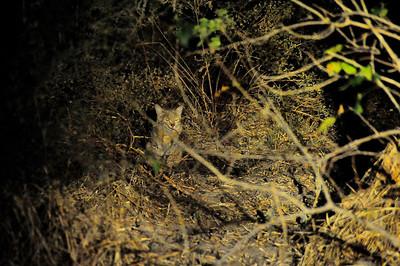 EPV0943 Wild Cat at Night