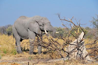 EPV0126 Elephant Stripping Bark