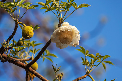 Botswana A flower on a Baobab Tree.