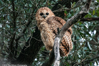 Pel's Fishing Owl