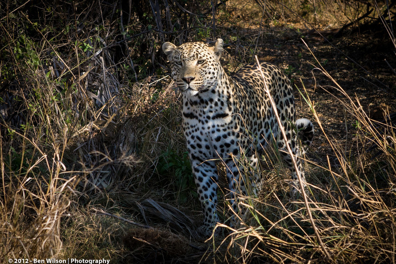 Leopard looking for dinner