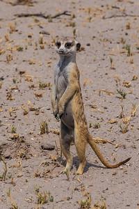 Makgadikgadi Pans, Botswana A meerkat standing looks a bit human-like.