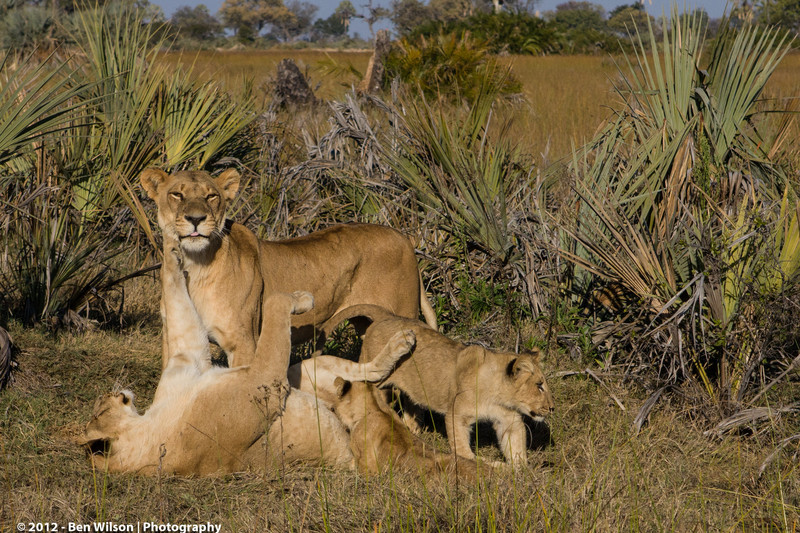 2 females with cubs